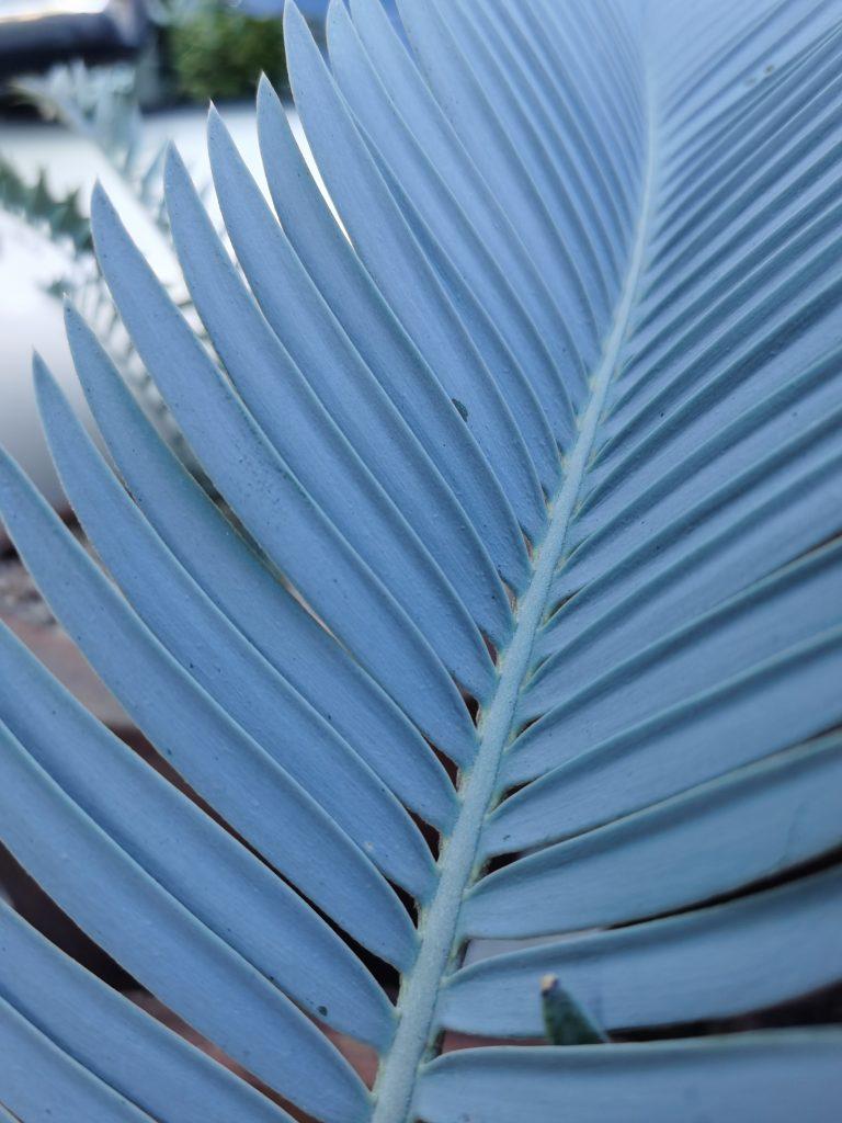 Encephalartos hirsutus