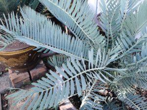 Encephalartos cupidus