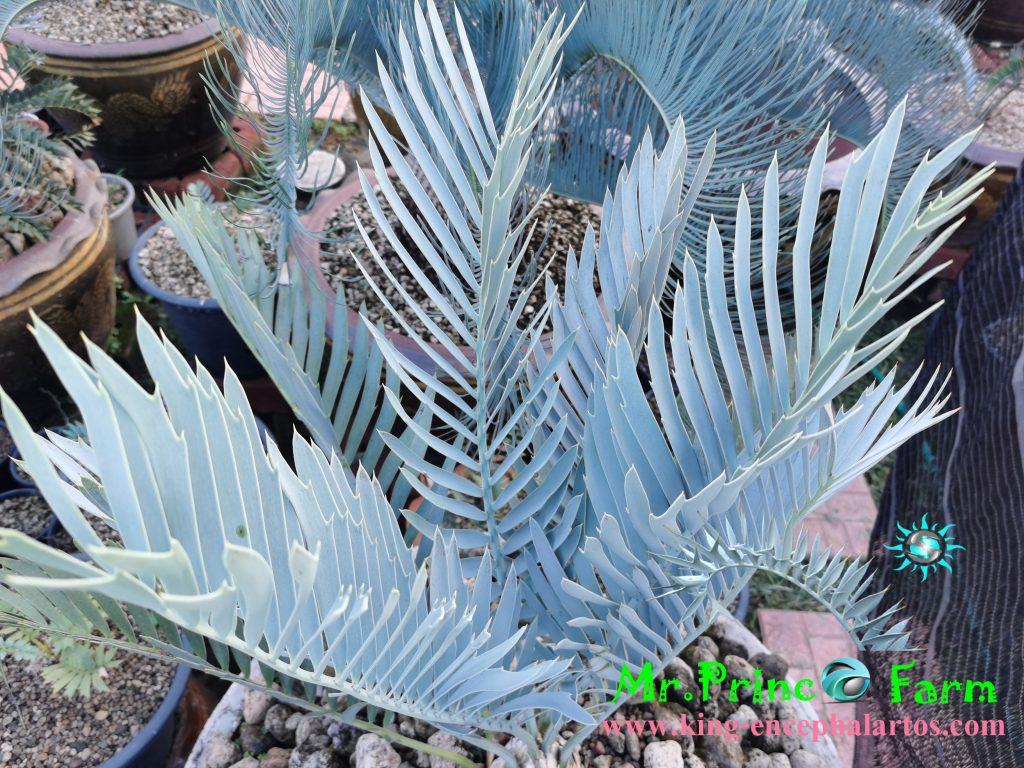 Encephalartos middelburgensis