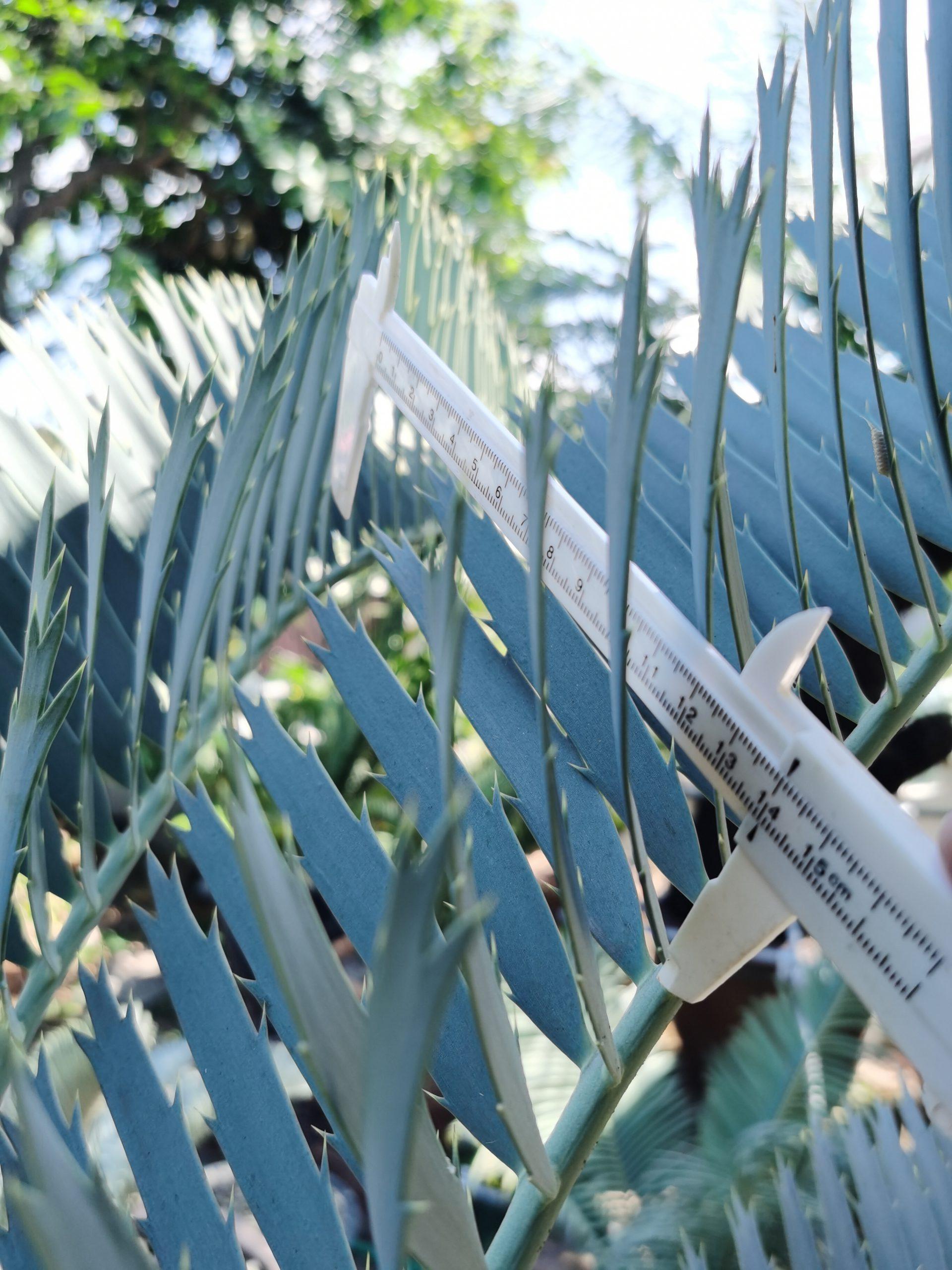 Encephalartos nubimontanus robusta(Original or Purebred)