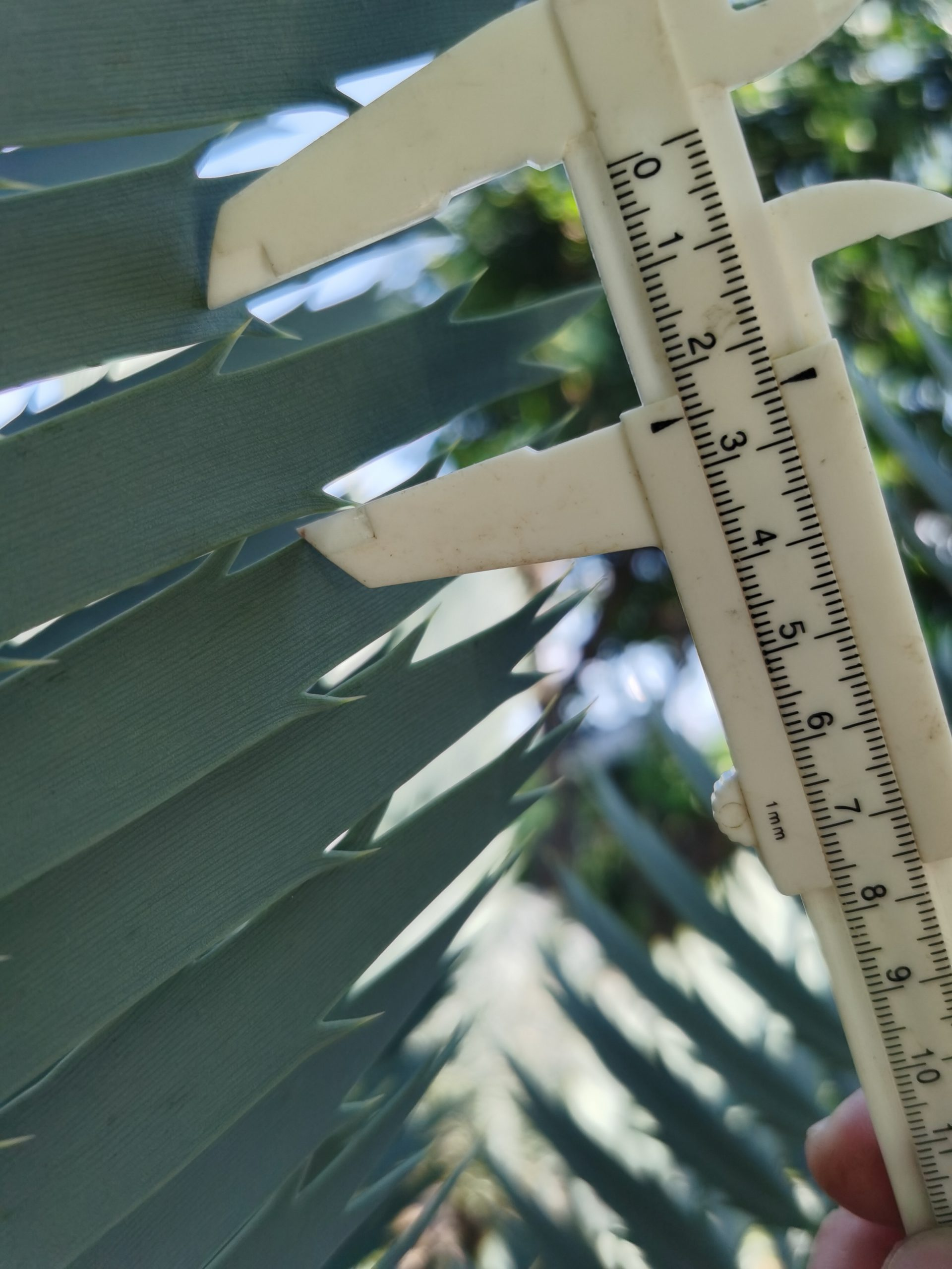 Encephalartos nubimontanus robusta