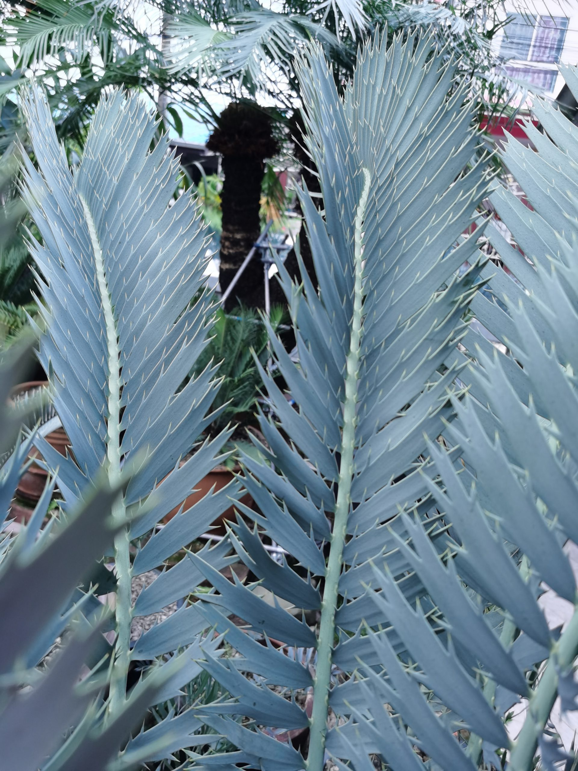 Encephalartos nubimontanus robusta(originalor Purebred)