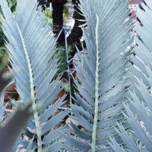 Encephalartos nubimontanus