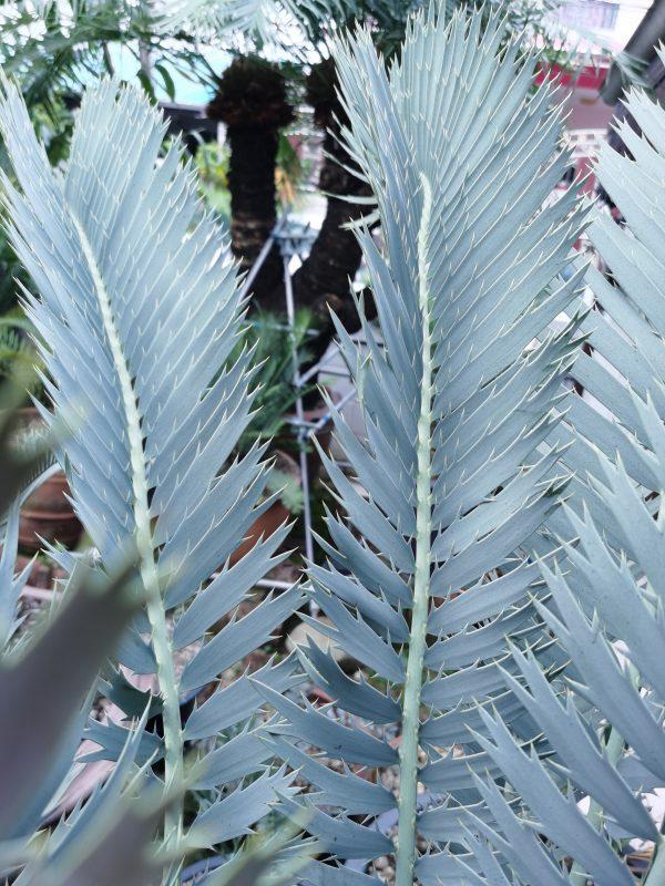 Encephalartos nubimontanus robusta form